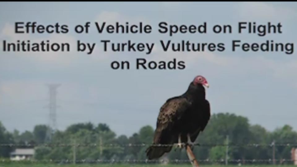 Effects of Vehicle Speed on Flight Initiation By Turkey Vultures Feeding on Roads